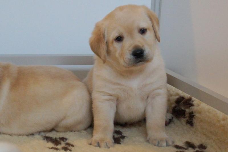 Labrador 1 mois