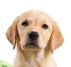 Labrador qui présente le blog