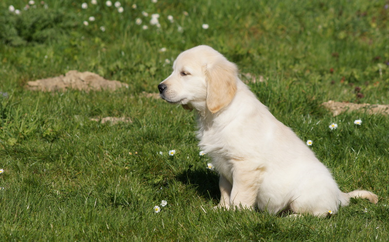 Image de chiot golden retriever