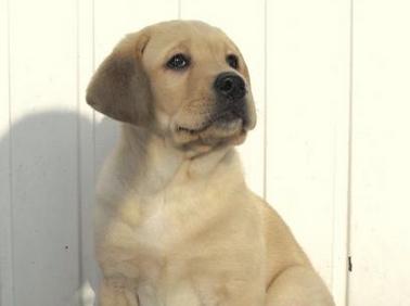 Chiot Labrador devant une clôture